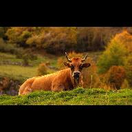 vaca hd